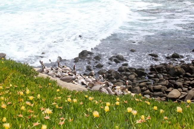 Sunning Pelicans