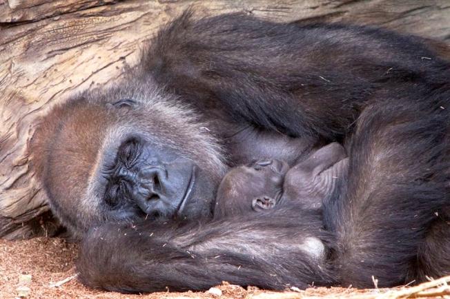 Mama Gorilla Love