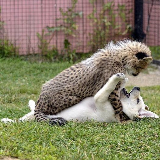 Cheetah - Dog Play, Facebook