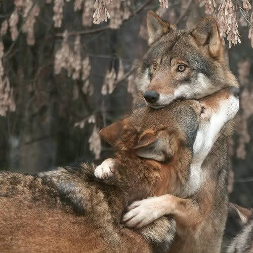 Wolves Hug facebook_metaspoon