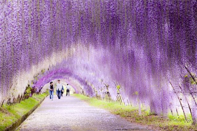 Wisteria Flower Tunnel – Japan