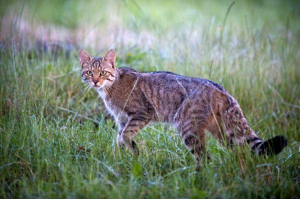 Cat European wildcat nationalgeo