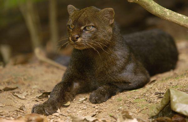 Cat jaguarundi nationalgeo
