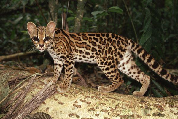 Cat margay natgeo