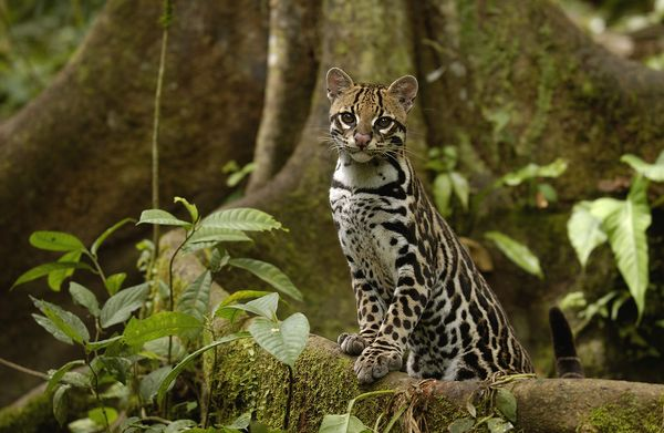 Cat ocelot nationalgeo