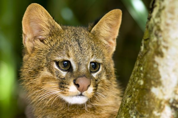 Cat pampas cat nationalgeo