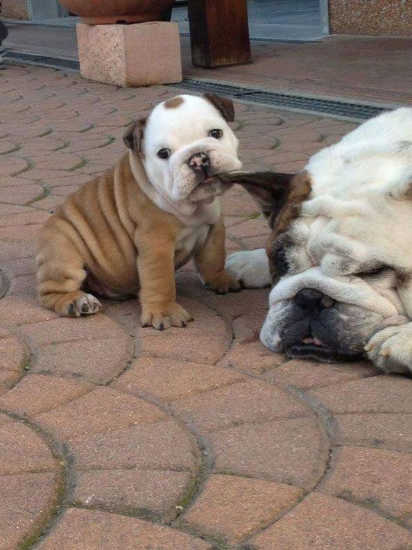 Bulldog Mom-Pup