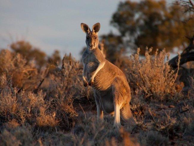 Kangaroo, img_5861_jpg__800x600_q85