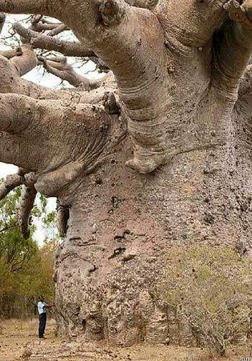 6000 year old tree South Africa, FB
