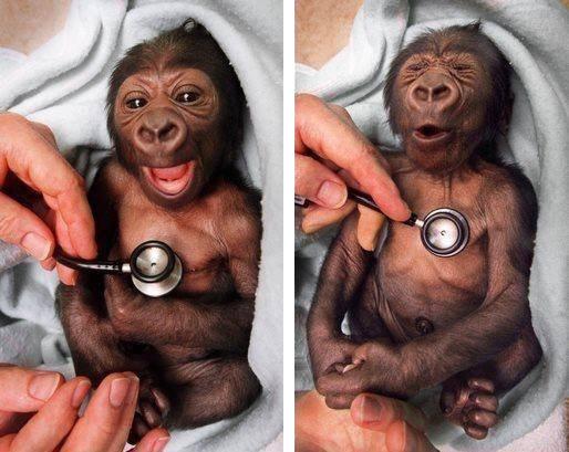 530dr-baby-gorilla-steth