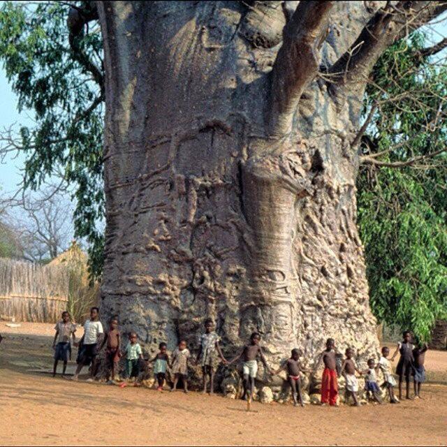 Baobab Tree, FB
