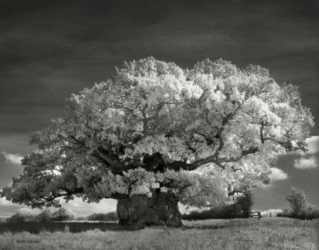 Bowthorpe_Oak