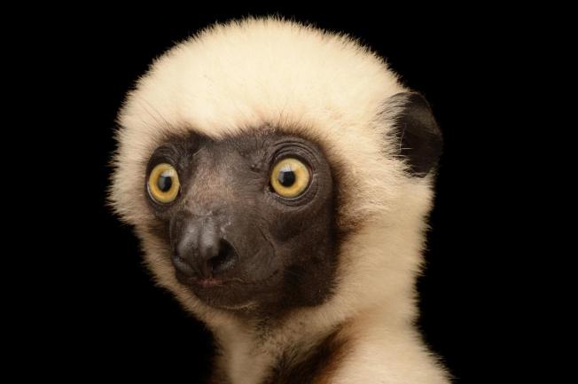 Lemur, NatGeo