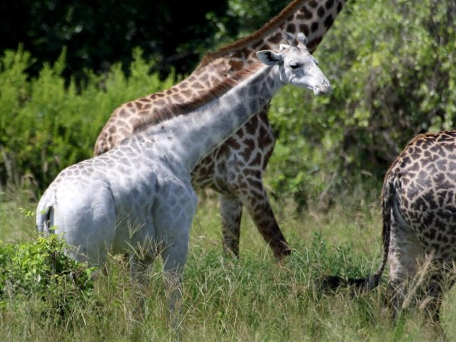 Giraffe, White, smithsonianmag_com