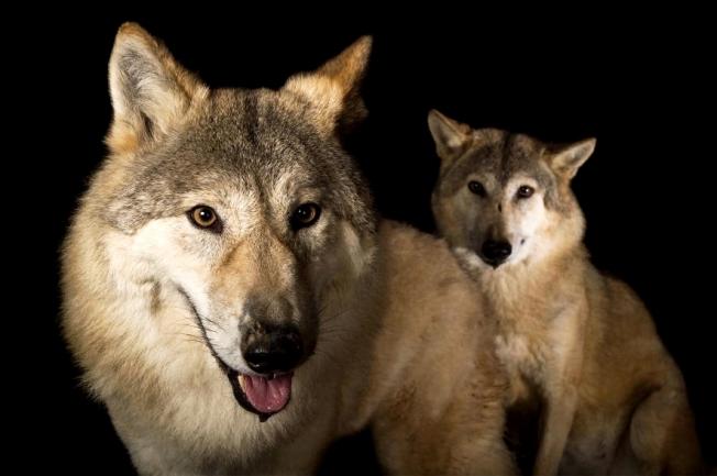 Wolf, Himalayan, NatGeo
