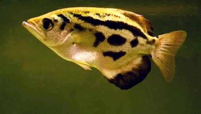 Fish, Archer, Recognize Faces, Smithsonian