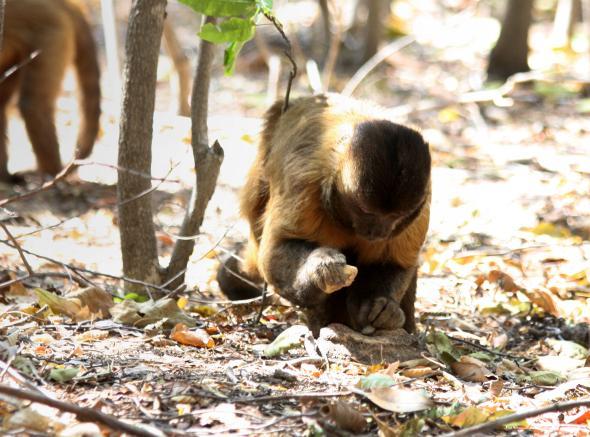 Monkey, Capuchin, Tool, NatGeo