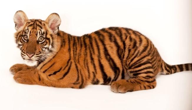 Tiger, Sumatran, NatGeo-crop