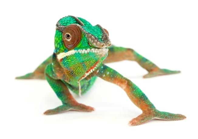 Chameleon, NatGeo-crop