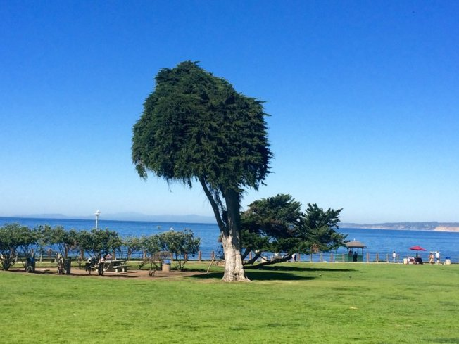 Dr Seuss, Lorax Tree, La Jolla, Smithsonian