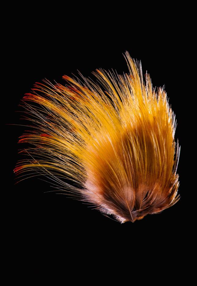 Feathers, Golden Pheasant, NatGeo