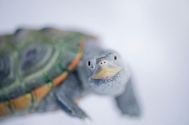 Turtle, Diamonback2, natgeo